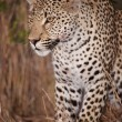 Leopard sitting alert in savannah — Stock Photo