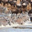 Herd of zebras (African Equids) and Blue Wildebeest (Connochaete — Stock Photo #6948976