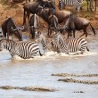 Herd of zebras (African Equids) and Blue Wildebeest (Connochaete — Stock Photo #6948979