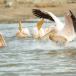 Eastern White Pelican (Pelecanus onocrotalus) — Stock Photo