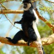 Stock Photo: Black-and-white colobus monkey