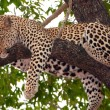 Leopard sleeping on the tree - Stock Photo