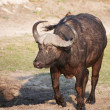 Stock Photo: Buffalo (Syncerus caffer) in wild