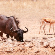 Blue wildebeest and Springbok — Stock Photo