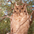 Spotted Eagle Owl (Bubo Africanus) — Stock Photo #6949199