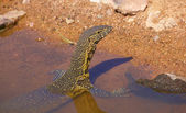 Water dragon in South Africa — Stock Photo