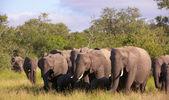 Large herd of elephants — Stock Photo