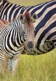 Herd of zebras (African Equids) — Stock Photo