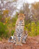 Leopard sitting in savannah — Stock Photo