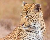 Leopard (Panthera pardus) sitting in savannah — Stock Photo