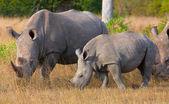 Group of white rhinoceros — Stock Photo