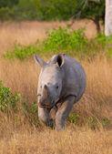 Baby calf white rhinoceros — Stock Photo
