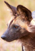 African Wild Dog (Lycaon pictus) — Stok fotoğraf