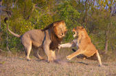 Lion (panthera leo) and lioness fighting — Stock Photo