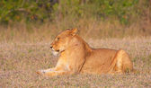 Lioness (panthera leo) in the wild — Stock Photo