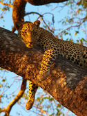 Leopard lying on the tree — Stock Photo