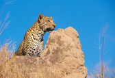Leopard sitting on the rock in the wild — Stock Photo