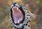 Leopard (Panthera pardus) — Stock Photo
