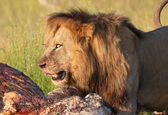 Lion (panthera leo) in savannah — Stock Photo