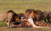 Three Lions (panthera leo) eating in savannah — Stock Photo