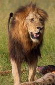 Single lion (panthera leo) in savannah — Stock Photo