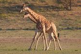 Two giraffe — Stock Photo