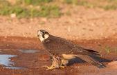 Peregrine Falcon (Falco Peregrinus) — Stock Photo