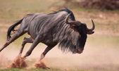 Blue wildebeest (Connochaetes taurinus) — Stock Photo