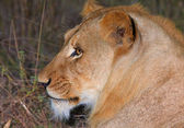 Lion (panthera leo) in savannah — Stockfoto