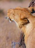 Lion (panthera leo) scratching her head — Stock Photo