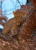 Leopardo deitado sobre a árvore — Fotografia Stock