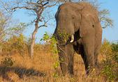Large elephant bull — Stock Photo