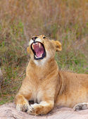 Lioness (panthera leo) close-up — Stock Photo