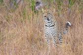 Savannah leopar ayakta uyarısı — Stok fotoğraf