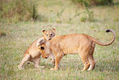 Lion cub (panthera leo) close-up — Stock Photo