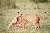 Lion cub (panthera leo) close-up — Stock Photo