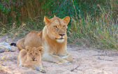 Lion cub (panthera leo) in a pride — Stock Photo