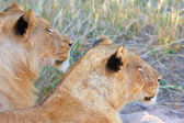 Lions (panthera leo) close-up — Stock Photo