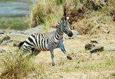 Single zebra (African Equids) running — Stock Photo