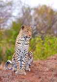 Leopard resting in savannah — Stock Photo
