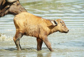 Buffalo (Syncerus caffer) calf with his mother — Stock Photo