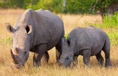 Large white rhinoceros with calf — Stock Photo