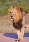 Lion (panthera leo) close-up — Stock Photo