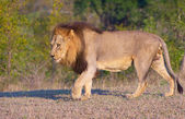 Lion (panthera leo)in savannah — Stock Photo