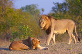Lion (panthera leo) and lioness — Stock Photo