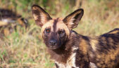 African Wild Dog (Lycaon pictus) — Stock Photo
