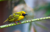 Village (Spotted-backed) Weaver — Stock Photo
