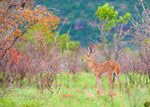 Single Reedbuck (Redunca arundinum) — Stock Photo