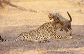 Cheetah (Acinonyx jubatus) cub — Stock Photo