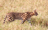 African Serval (Leptailurus serval) — Stock Photo